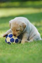 Playing Labrador