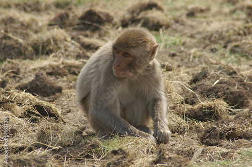 Canvas Prints Monkey rhesus monkey