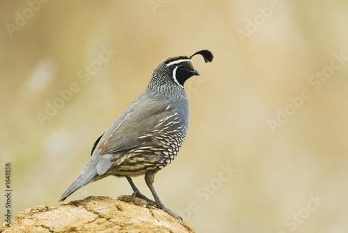 Fotografía gambel's quail
