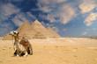 Leinwandbild Motiv the pyramids camel