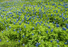 Bluebonnet Lupinus Texensis 6