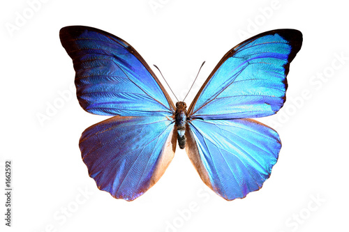 Fotografie, Obraz  blue morpho