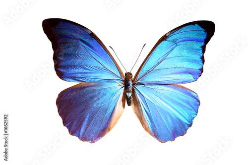 Obraz na plátne blue morpho