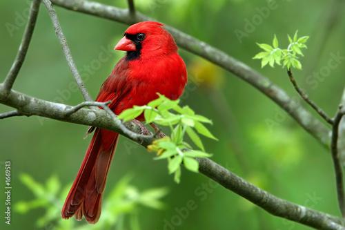 Leinwand Poster cardinal
