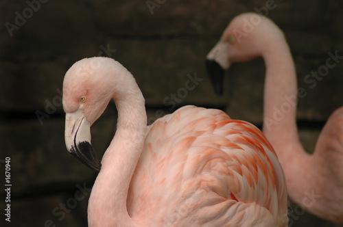 Garden Poster Flamingo flamingo 2