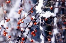 Winter Red Berries In Snow
