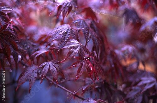 Photo acer palmatum, variety bloodgood