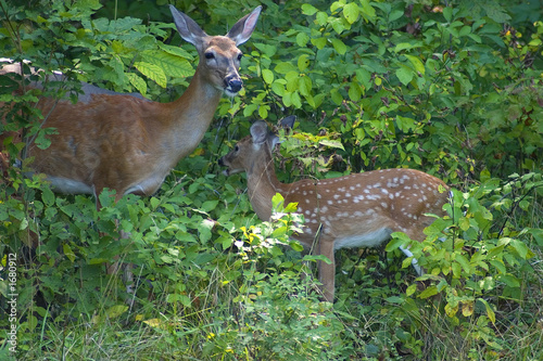 Canvas Print doe and fawn