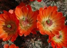 Barrel Cactus 027