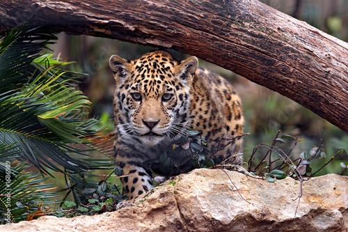 Recess Fitting Leopard ready to pounce