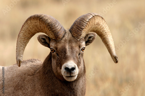 Photo bighorn