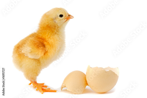 Foto adorable baby chick