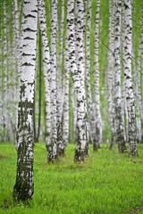 Fototapeta birch wood