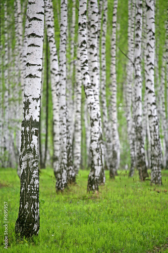 Foto op Canvas Berkbosje birch wood