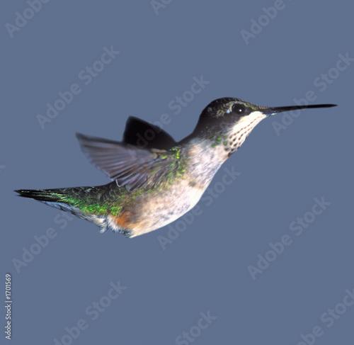 canvas print motiv - Robert Young : hummingbird closeup