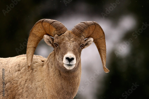 bighorn in winter Wallpaper Mural