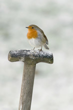 Robin Against Snow Background