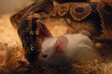 Serpent8
