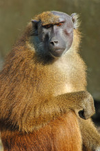 Old Female Baboon