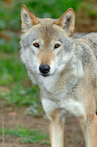 Valokuvatapetti she-wolf