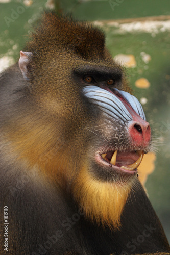 Poster Parrot monkey mandrill