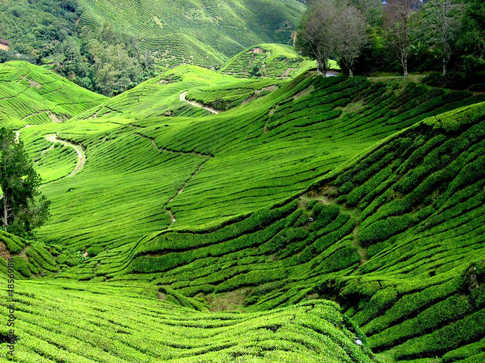 Fototapeta tea plantation, malaysia