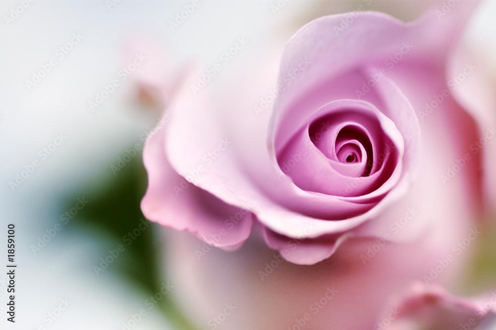 Fototapeta Rózowa róża - obraz na płótnie