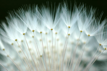 Panel Szklany Podświetlane Dmuchawce dandelion