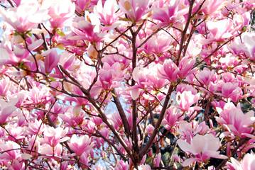 Panel Szklany Egzotyczne blooming magnolia
