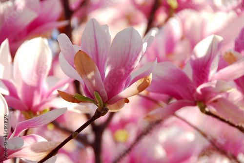 Magnolia blooming magnolia