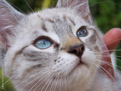 Fototapety, obrazy: chaton
