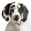 canvas print picture jeune dogue allemand
