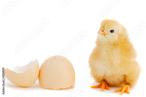 Photo adorable baby chick