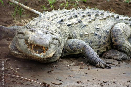 Printed kitchen splashbacks Crocodile angry crocodile