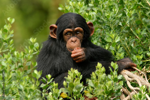 Canvas Print chimp