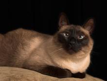 Cross Eyed Siamese Cat Protrait