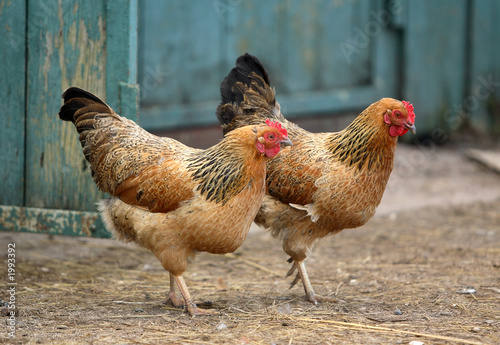 Papiers peints Poules two hens