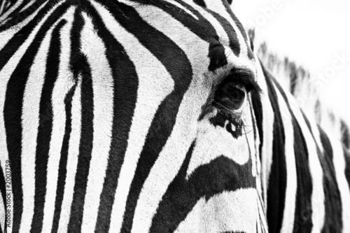 Poster Zebra noir et blanc