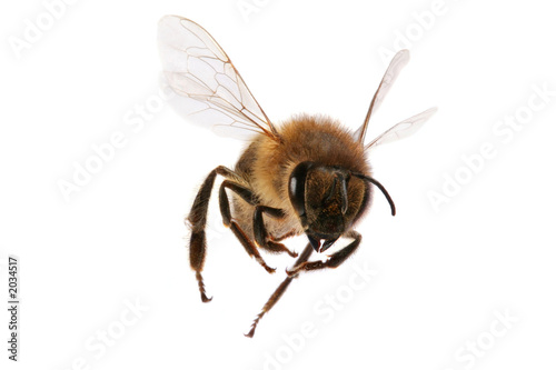 Spoed Foto op Canvas Bee flying bee