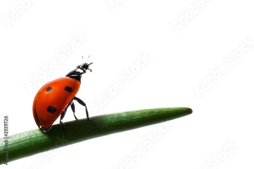 Valokuvatapetti the ladybug