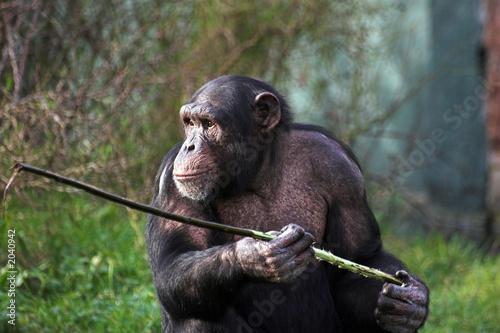 Fotografie, Obraz  chimp