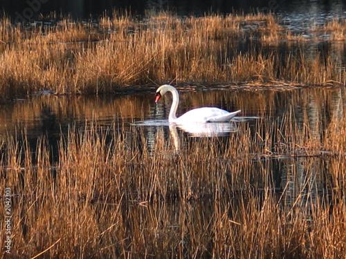 Foto auf AluDibond Schwan one swan in grass