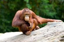 Baby Orangutan