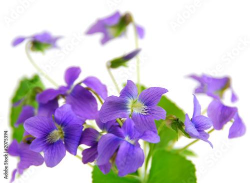 Spoed Foto op Canvas Iris violets