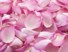 Pink Rose Petals 2