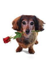 Valentine Dachshund