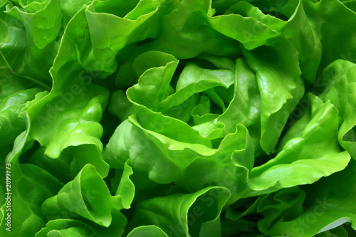 Obraz butterhead lettuce 1 - fototapety do salonu