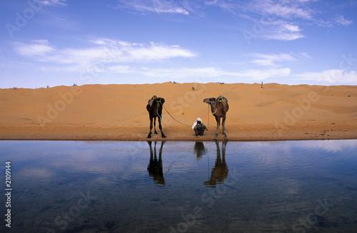 chamelier et dromadaires au bord de l'eau
