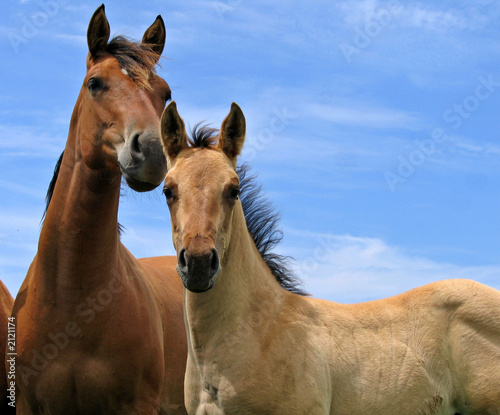 two horses Canvas-taulu