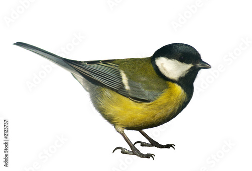 Spoed Foto op Canvas Vogel titmouse bird, isolated on white